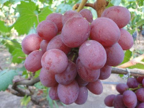 Анюта сорт винограда характеристики