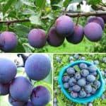 Как выращивать сливу Евразия: описание сорта