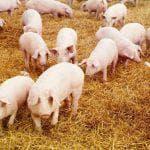 порода свиней петрена