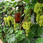 посадка и уход винограда Кристалл