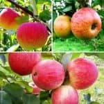 Урожайная яблоня сорта Медуница: характеристика и описание сорта