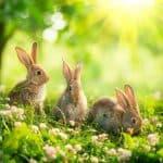 описание породы кроликов Фландр
