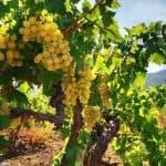 описание винограда Восторг