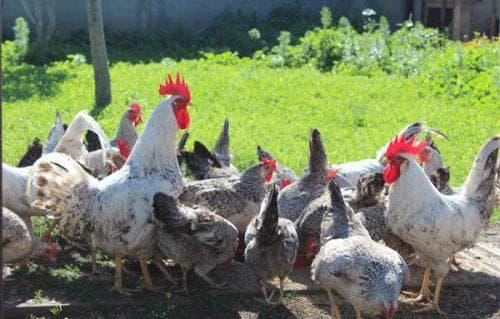 Цыплята борковская барвистая