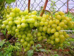 виноград аркадия описание сорта