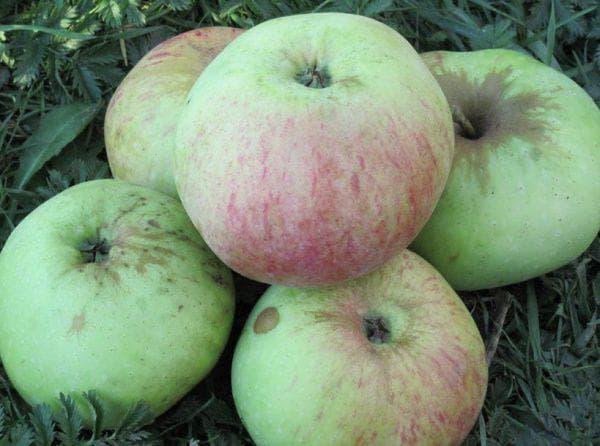 Как выглядит яблоко богатырь
