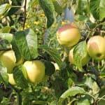 как посадить яблоню Конфетную