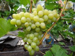 саженцы винограда аркадия