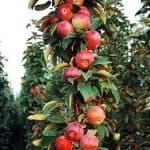 Колоновидная яблоня Валюта: описание сорта