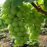 неукрывные сорта винограда для выращивания в Беларуси