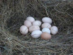 яйцо кур в гнезде
