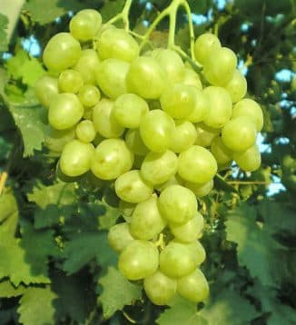 виноград сорт супер экстра