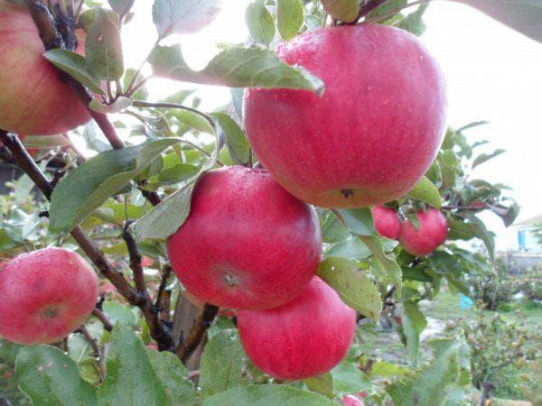 яблоня колонновидная васюган