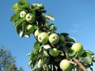 колоновидная яблоня президент описание