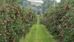 сады яблони