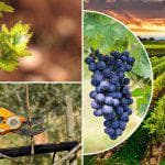 сорт винограда Северный сладкий