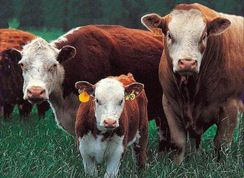 Герефордская порода коров: описание и характеристика, разведение