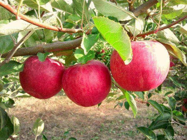 Яблоня Конфетное – описание сорта, фото, отзывы