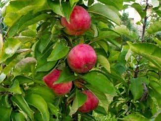 яблоня колонновидная васюган описание сорта