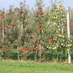 опылители яблони Конфетное
