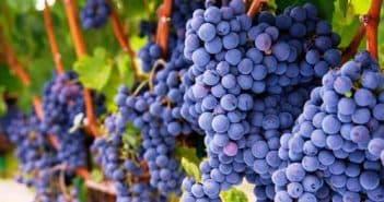 виноград саперави северный описание сорта