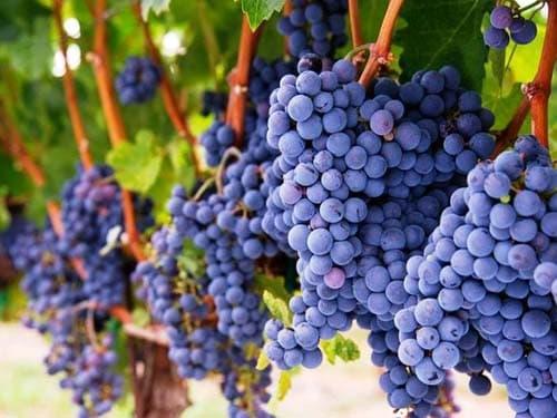 Виноград саперави северный описание сорта фото отзывы