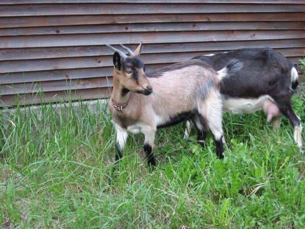 альпийская порода коз