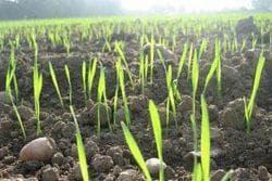 как ухаживать за посевами ржи