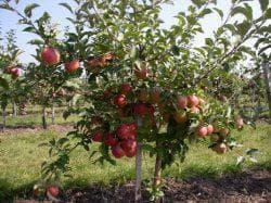 саженцы яблони мельба