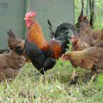 как узнать возраст курицы несушки