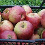 описание яблони Конфетное