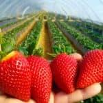 выращивание клубники круглый год в теплице