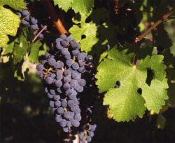 как сажать виноград каберне совиньон