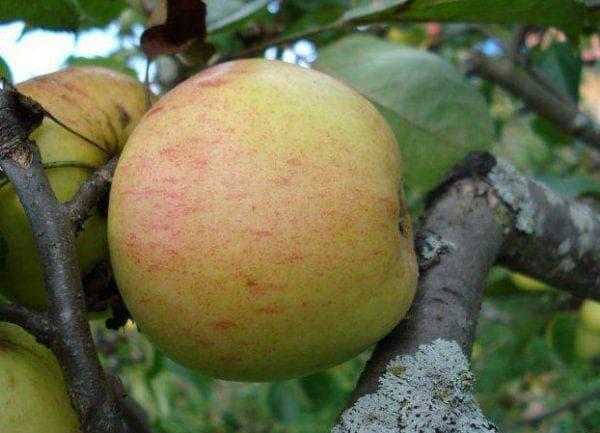 яблоня Дачная