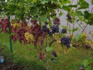 виноград алешенькин уход и выращивание