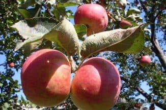 сорт яблони жигулевское отзывы