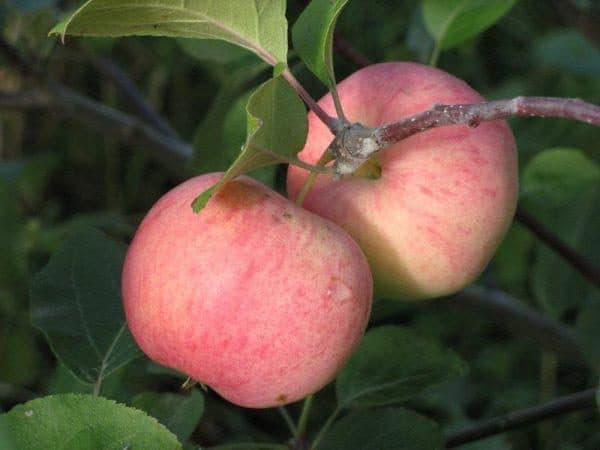 яблоня Соковое-3