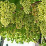 обработка бором винограда во время цветения