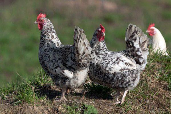 курица Пушкинская полосато-пестрая