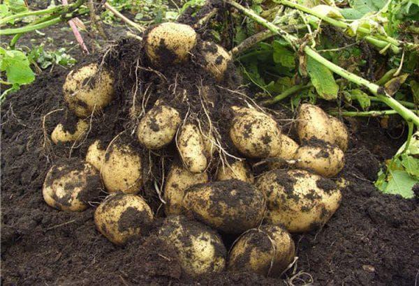 картофель в саду