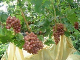 виноград кишмиш лучистый описание сорта