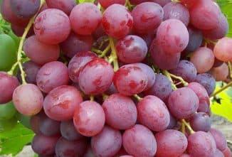 виноград велес описание сорта