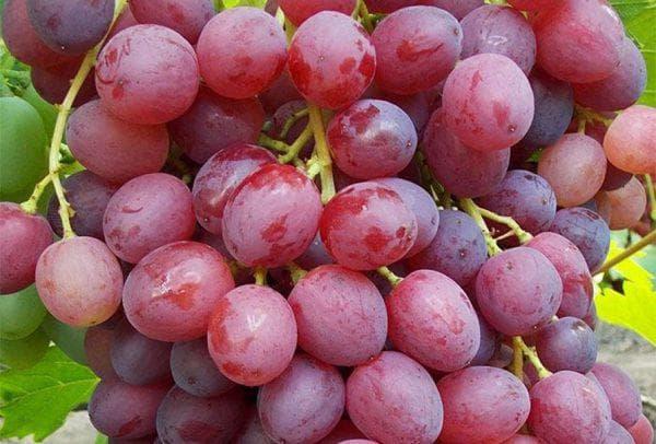 Виноград велес описание сорта фото отзывы видео