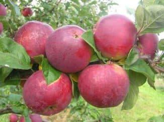 яблоня орлик отзывы садоводов