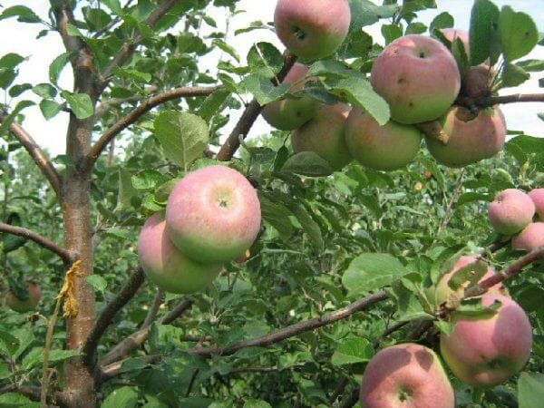 яблоня Настенька
