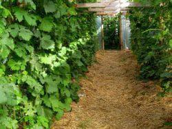 мульчирование винограда