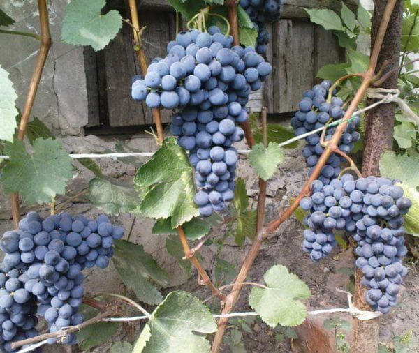 виноград Северный