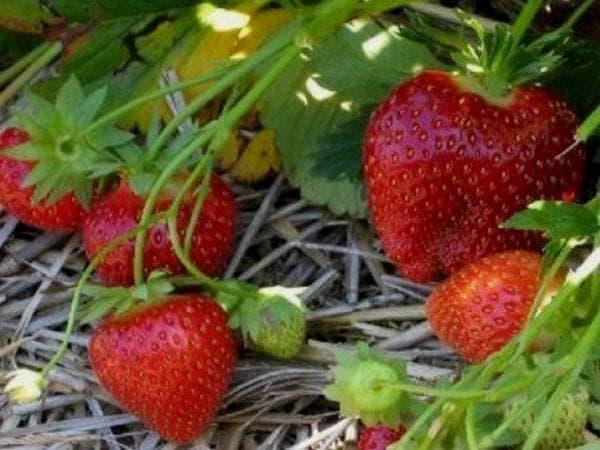 Клубника мальвина описание сорта фото отзывы садоводов
