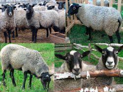 питание романовской породы овец