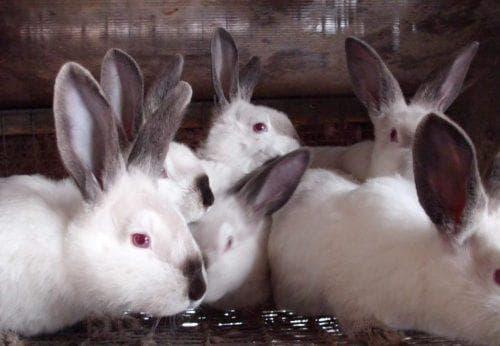 Кролиководство - выбор и разведение кроликов мясной породы видео